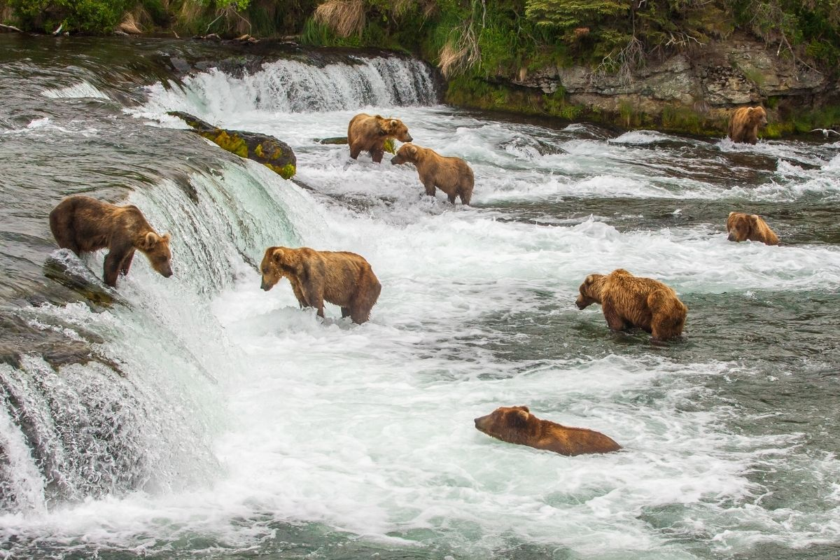 Brown bears feasting on salmon in the Brooks River, one of the most famous sites in Alaska national parks