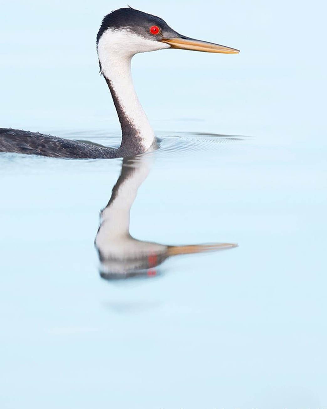 @andrew_j_mccullough Western Grebe Putnam Point