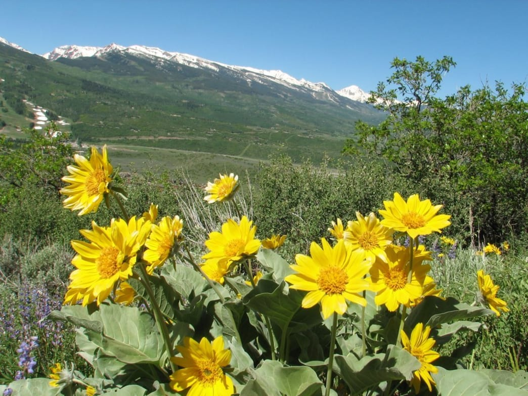 Alpine Sunflowers are prevalent along Sunnyside Trail