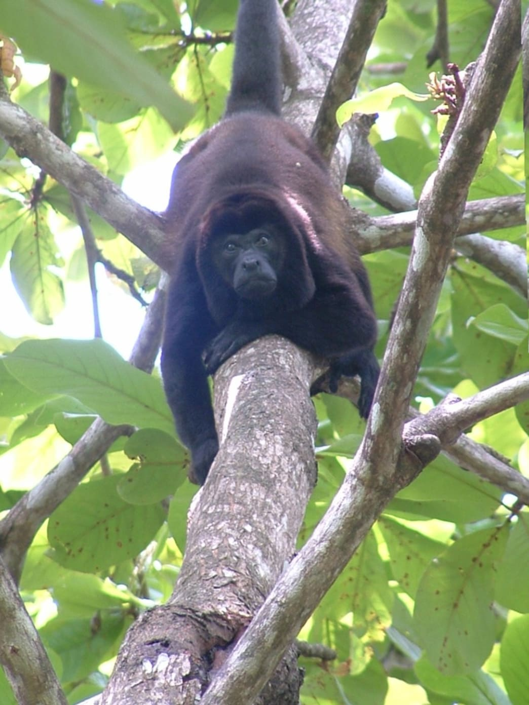 howler monkey looks down from the trees