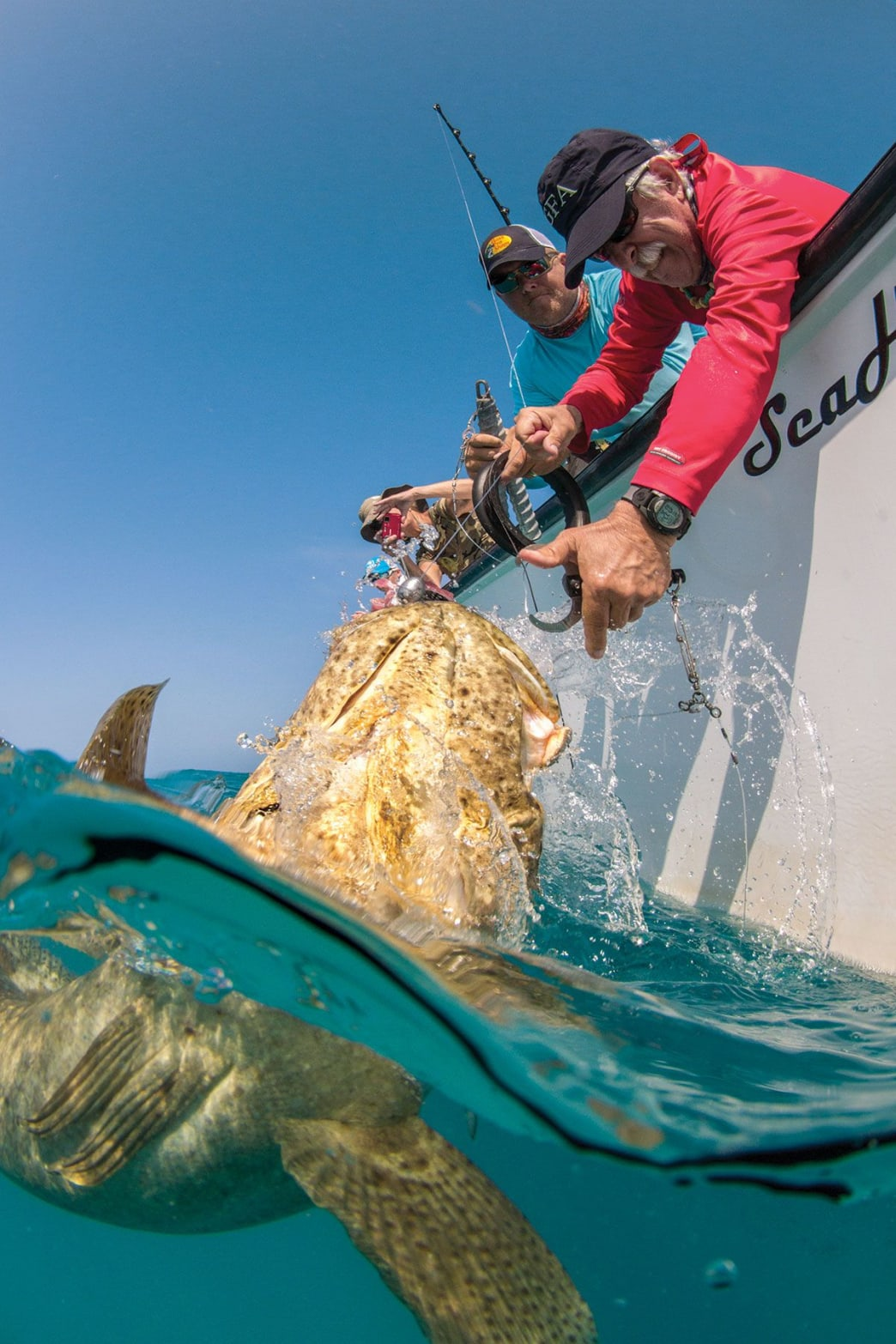 An angler prepares to fasten a descending device to a Goliath ­grouper prior to release.