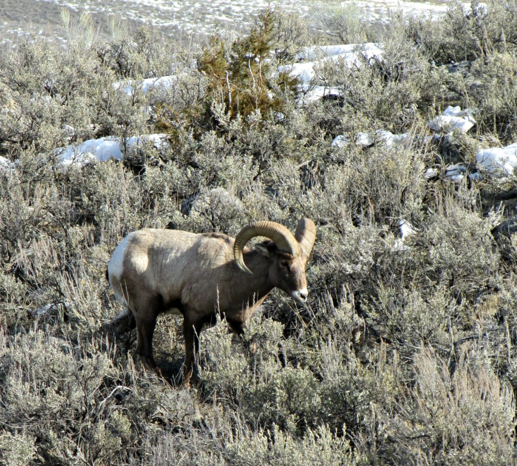 Winter pushes bighorn sheep out of the high country.