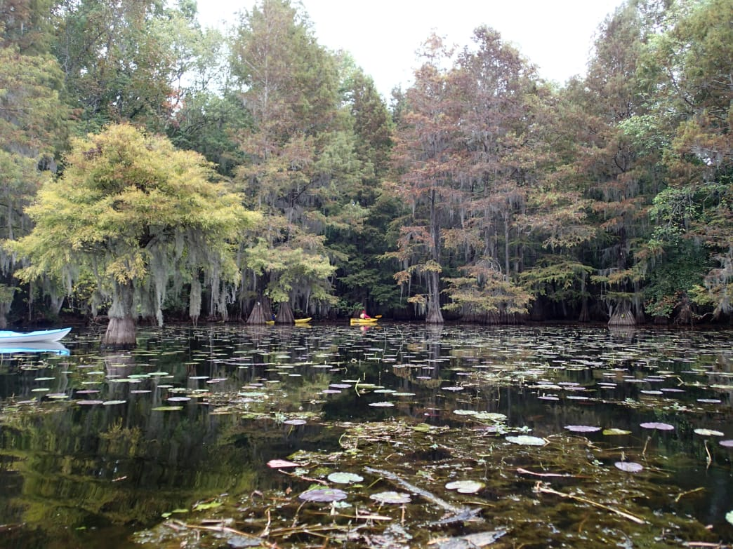 Lily pads at Santee State Park.