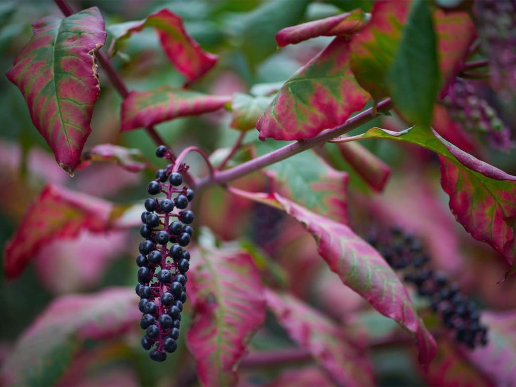 The fall foliage and fruit of pokeweed.