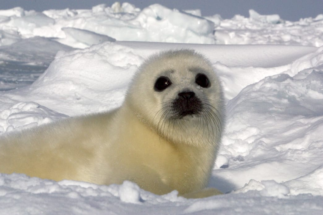 Natural Habitat Adventure's first trips were to see baby harp seals, in an effort to replace the seal-hunting industry with a seal-watching industry.