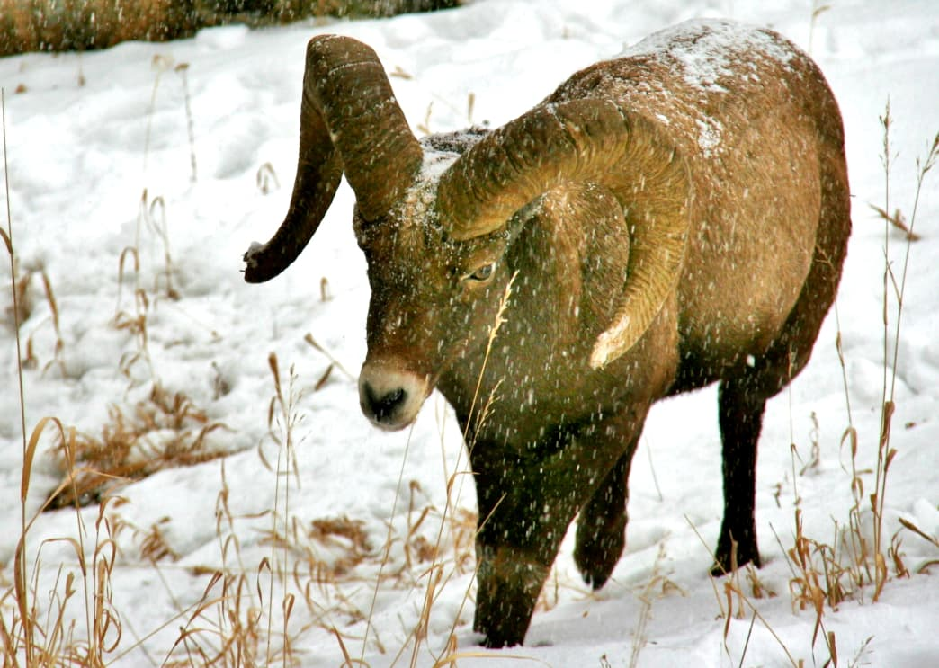 A Bighorn sheep traipsing through the Yellowstone snow.