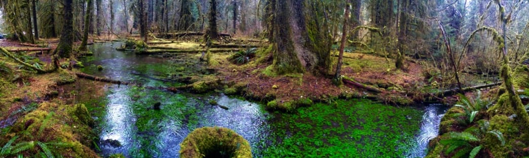 The Hoh Rainforest.