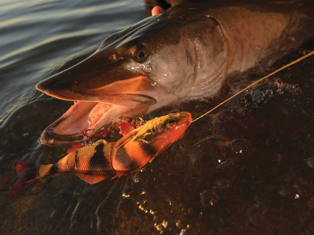 Muskie strikes are so rare that you'd better fight the fish just right to bring it to the boat.