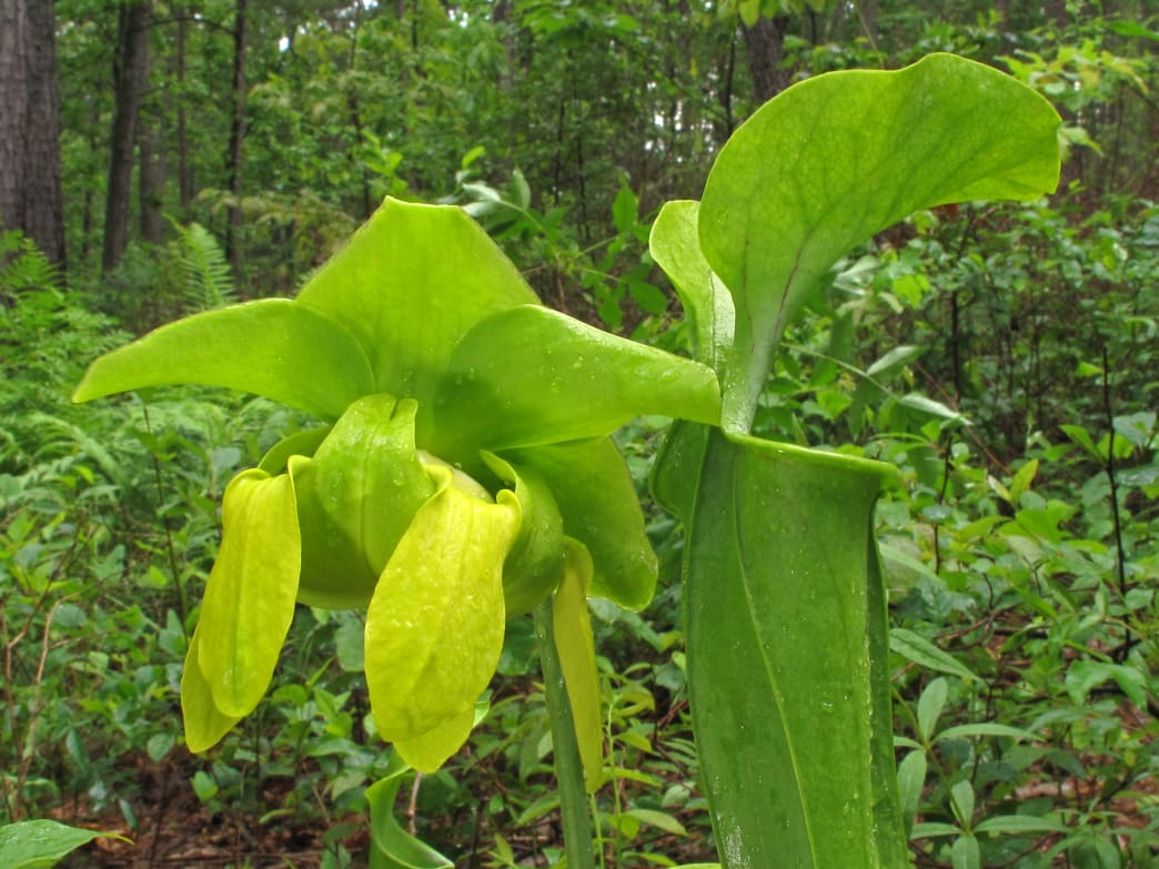 The green pitcher plant is categorized as Endangered by U.S. Fish and Wildlife Service.
