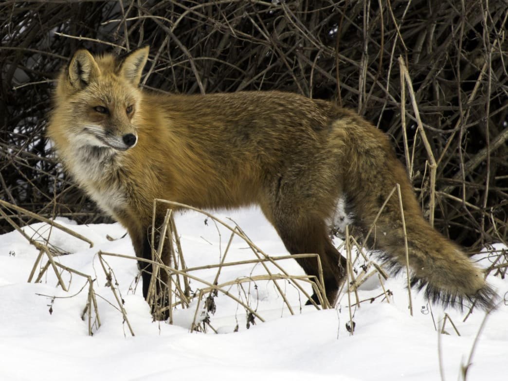 The red fox is just one of the many animals that can make bone-chilling noises in nature.