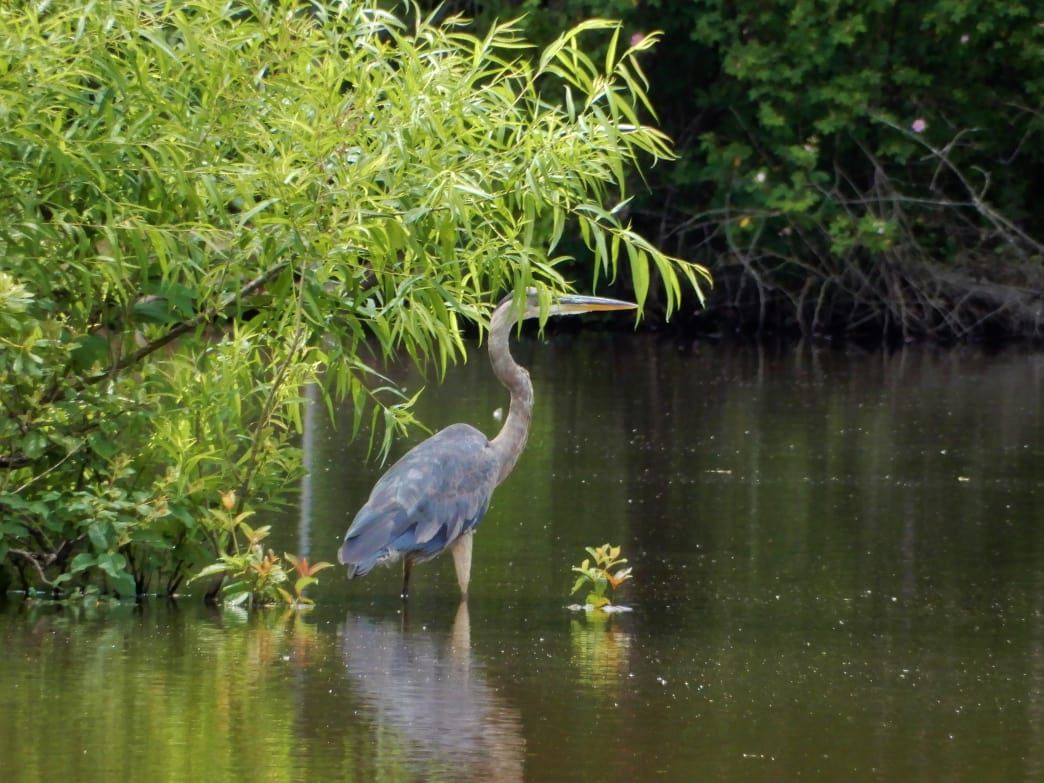 You've got a good shot of spotting a blue heron while paddling on the Catawba River.