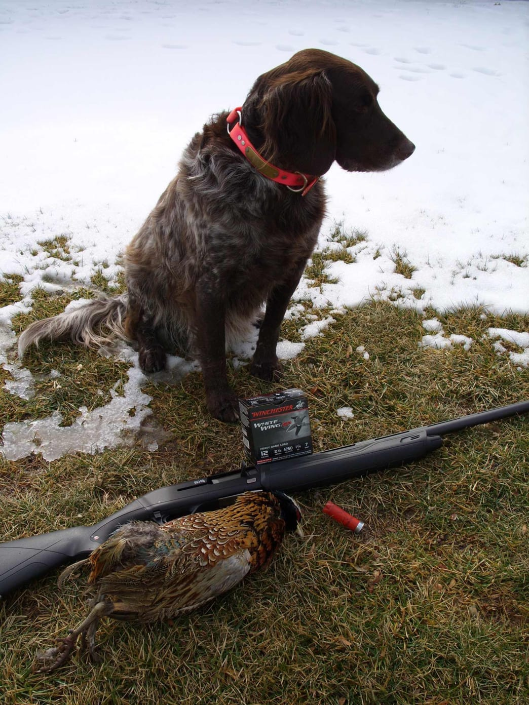 The rooster pheasant, missing a few tail feathers, and Phantom after the retrieve.