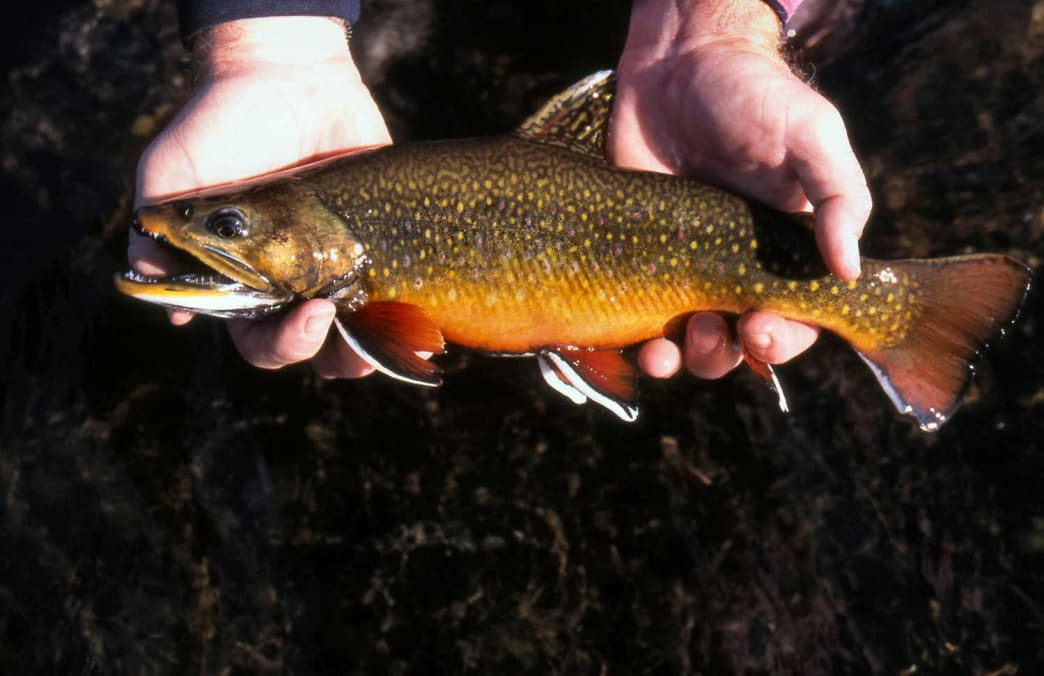 In the eastern United States, book trout are usually found in small mountain streams.