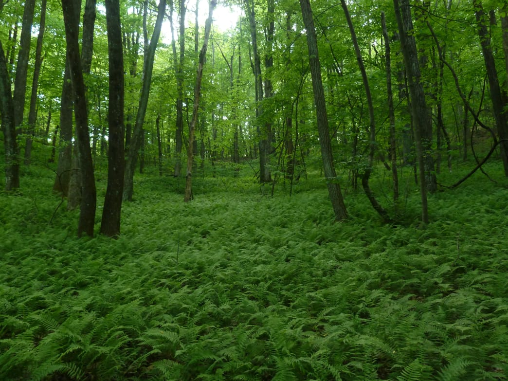 A carpet of fern decorate the trails at MBWA