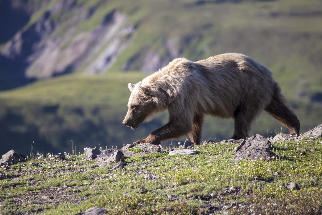 A very focused grizzly bear in Denali National Park & Preserve.