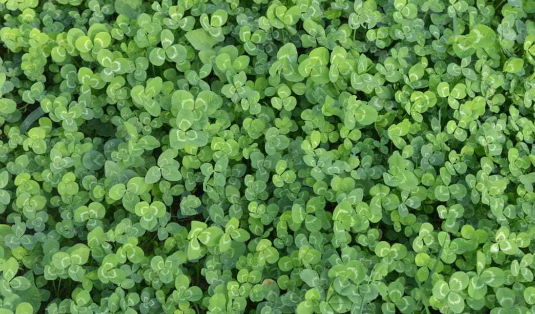 Microclover lawn alternatives