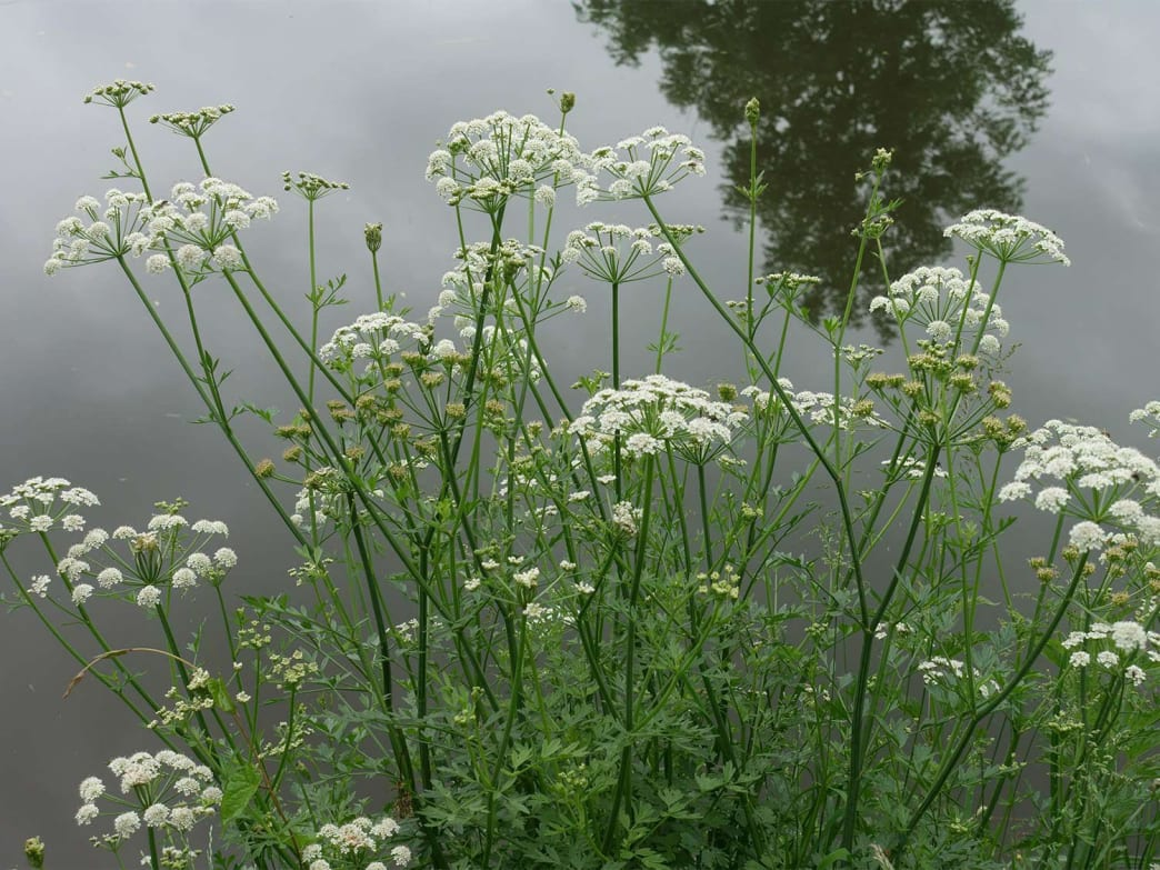 Cowbane, a type of poisonous hemlock, grows along a river's edge.