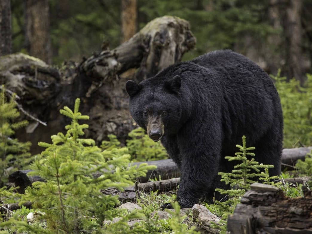 Black bears are capable of sprints up to 30 mph.