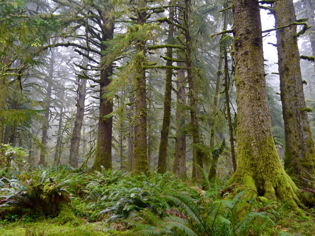 Old-growth forest grove in Oregon's Cascades.