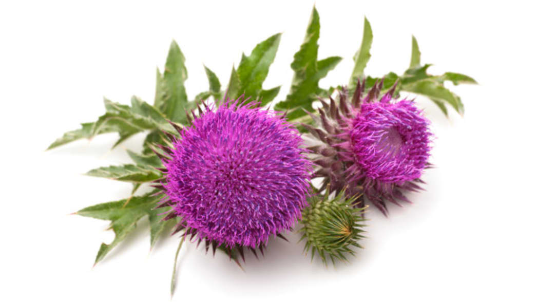 .Milk thistle. . Clean Eating Magazine