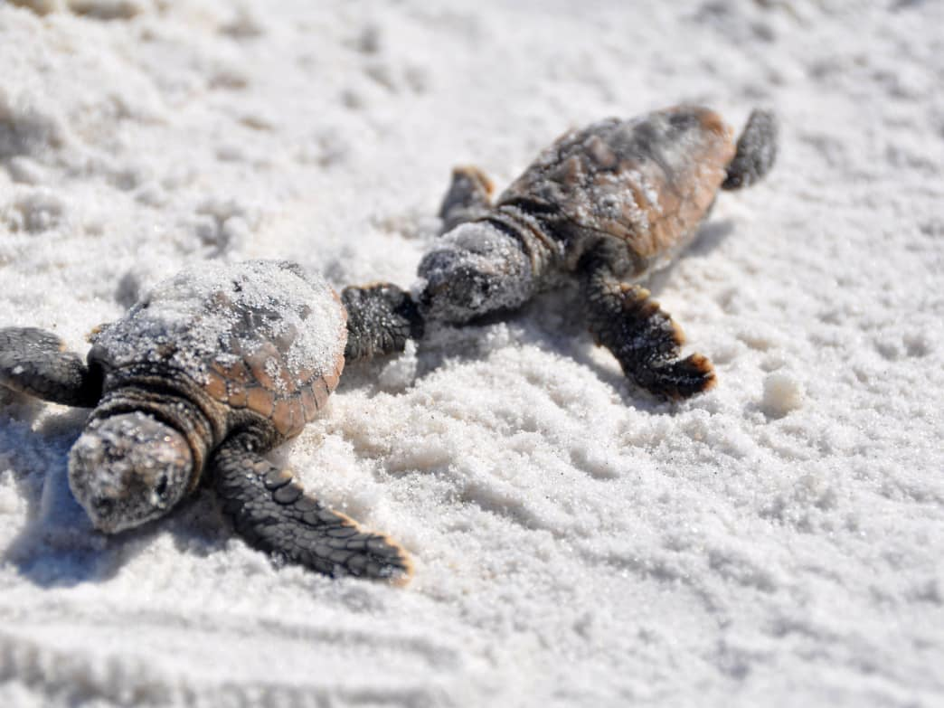 From about May to October each year, sea turtles nest on Gulf of Mexico beaches, ranging from Florida to Mexico.