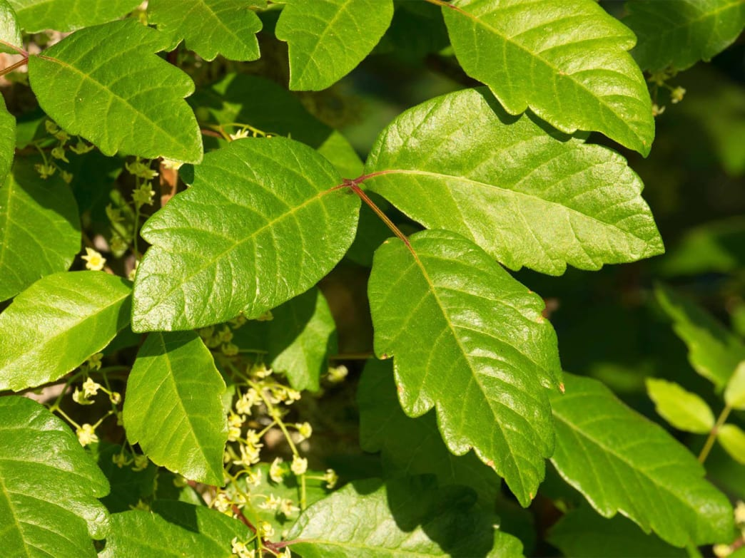Poison oak leaves are typically lobed, like the leaves of an oak tree.