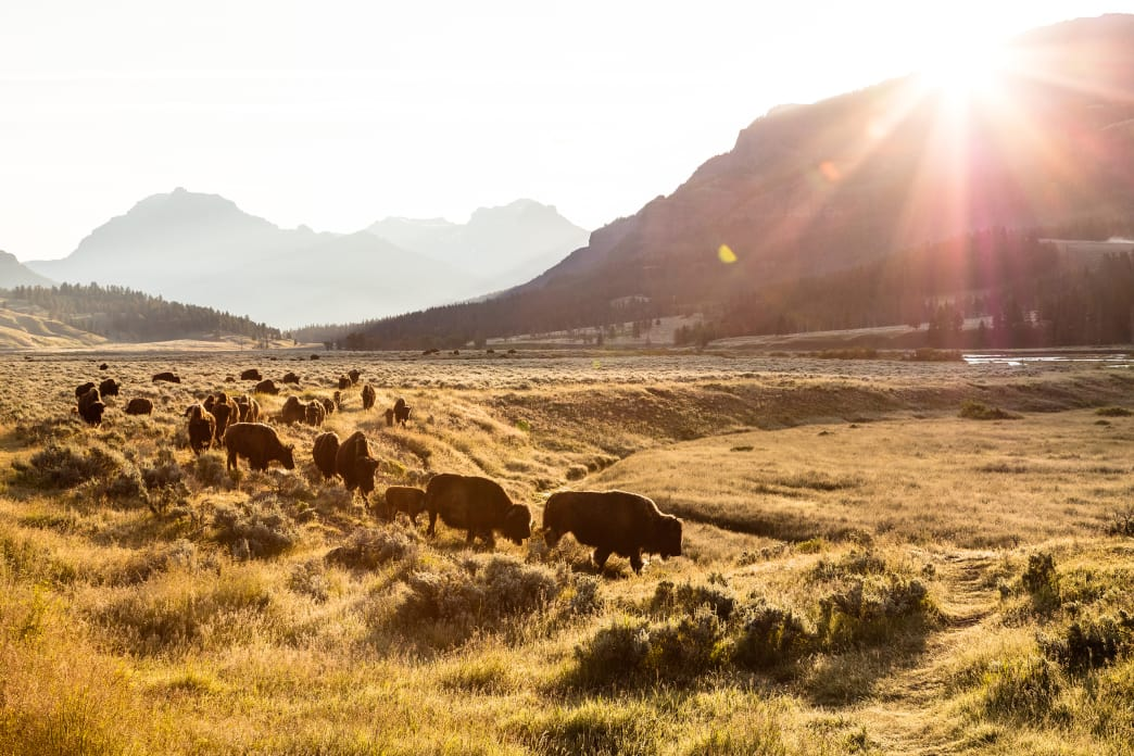 A herd of bison on the move at sunrise in Lamar Valley.