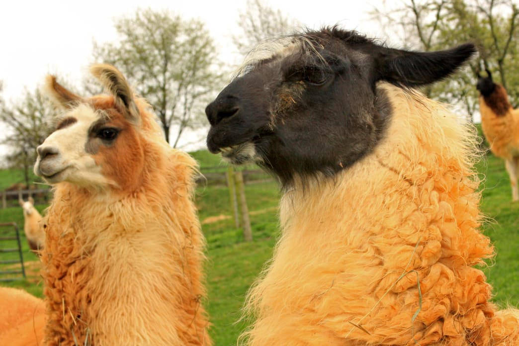 A Llama Farm provides an unusual Fields of Gold experience.