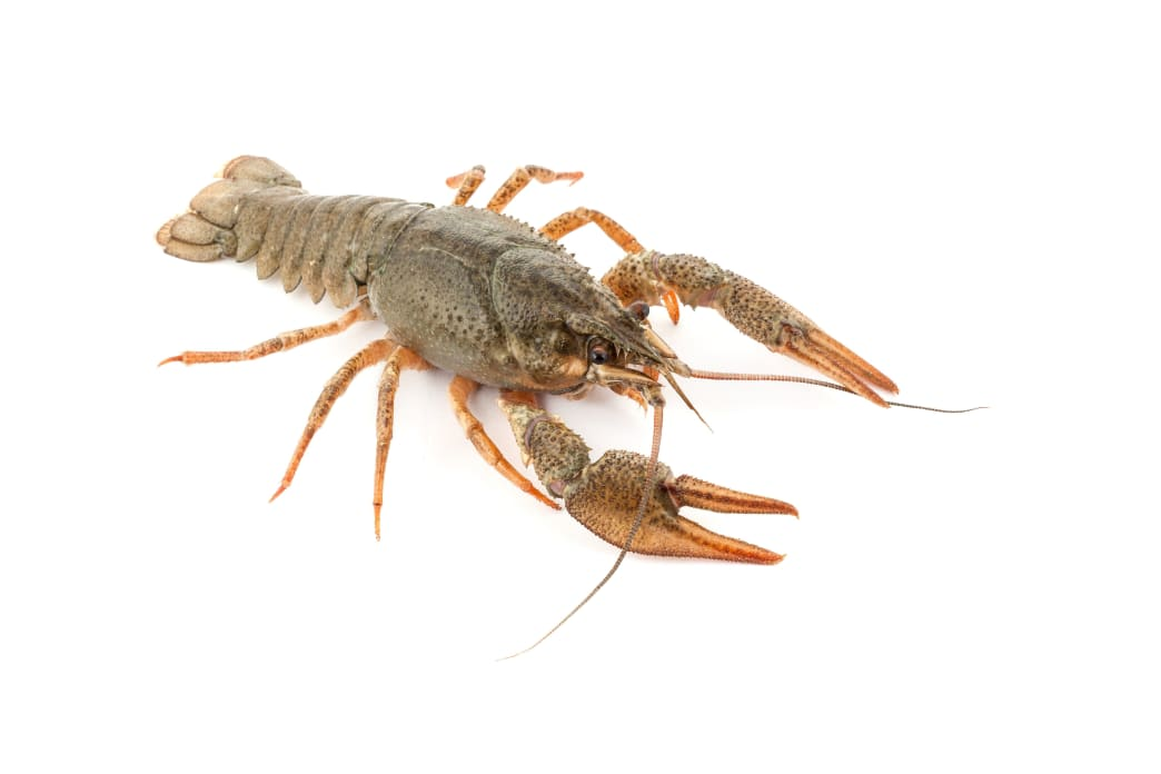 Crawfish are killer baits for both largemouths and smallmouths.