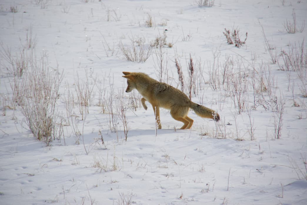 A coyote hunting in Lamar Valley in winter.