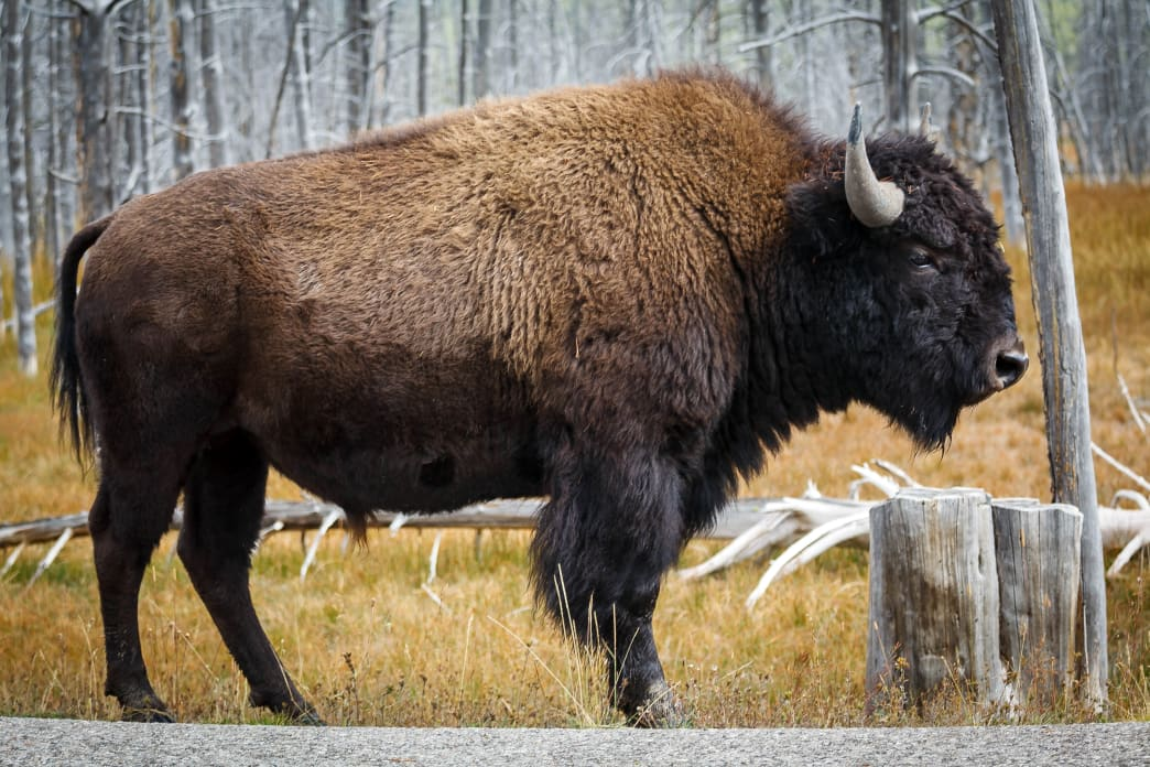 Prepare to see plenty of roadside Bison at Yellowstone.