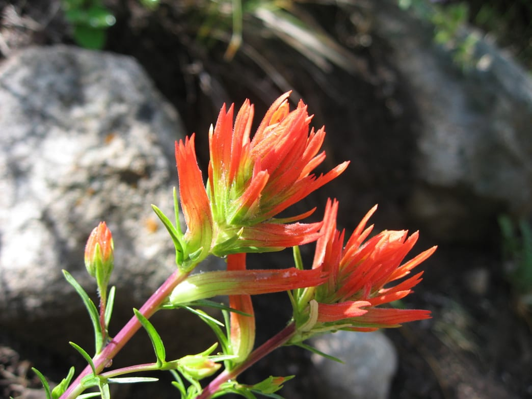 An Indian Paintbrush photographed in the Hunter Creek Valley.