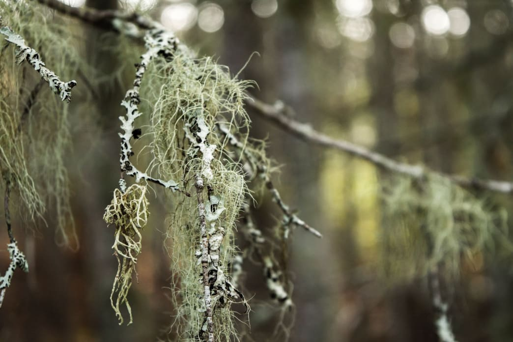 A bunch of old man's beard or Spanish moss gathered from tree limb will do the job.