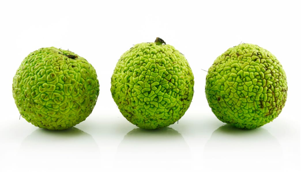 The crevices and bumps of the young Osage orange fruit aid in removal.