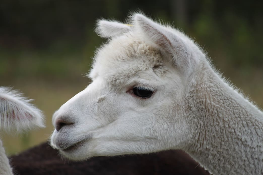 Awww….how can you resist visiting an alpaca farm and petting this cute face?