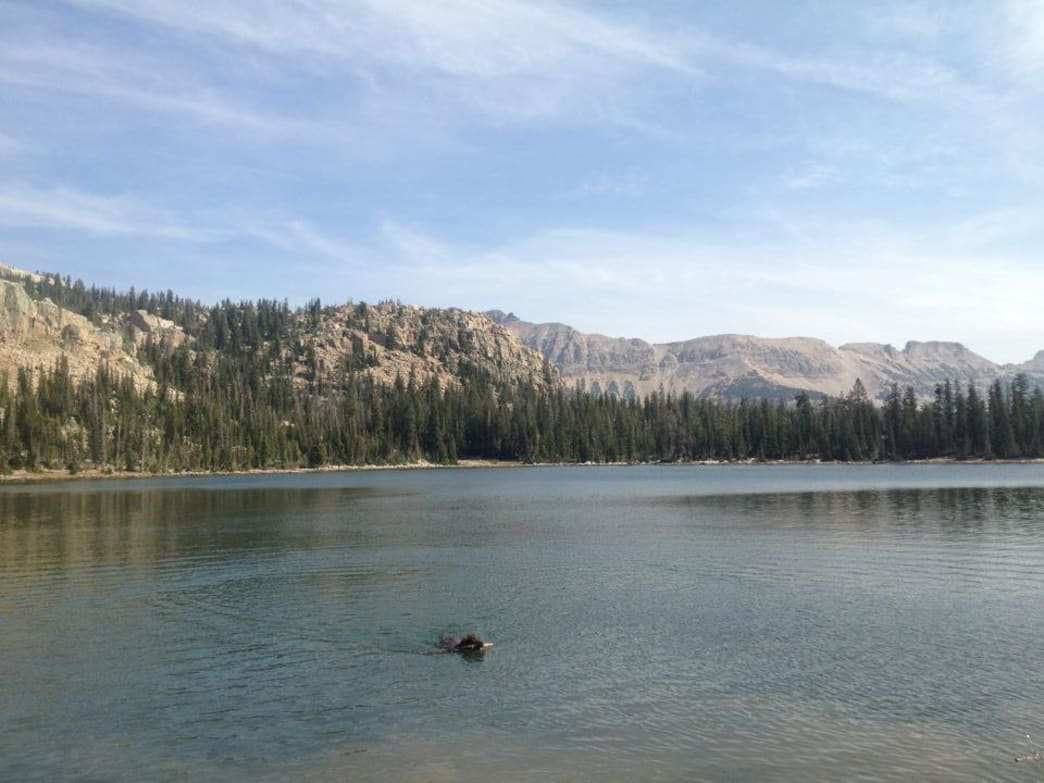 A very brown dog takes a dip in the Uintas.