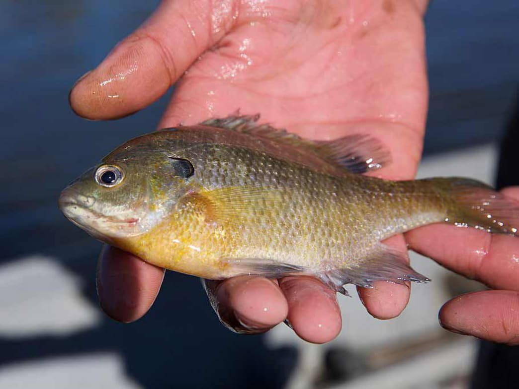 Bluegills are the most common panfish.