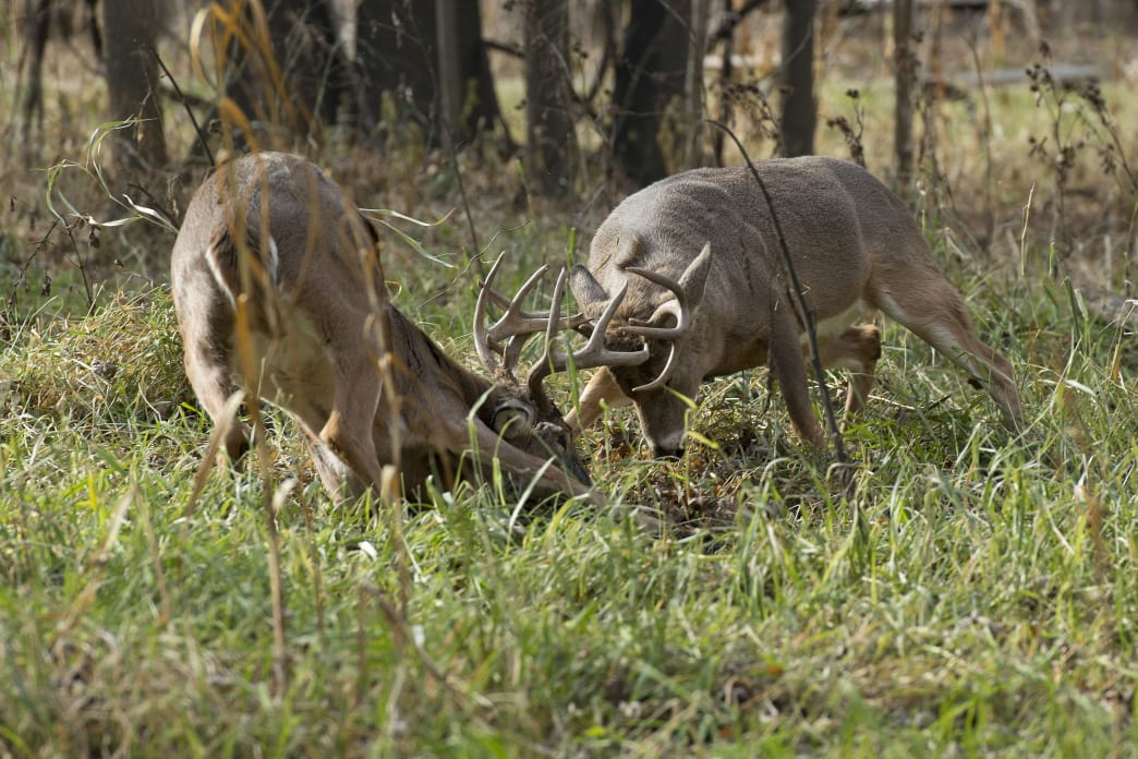 As the days get shorter, testosterone levels increase, and bucks start to fighting to establish territory.