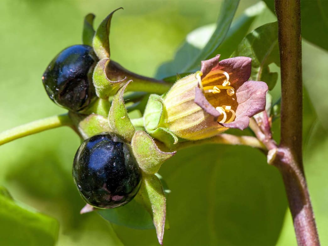 A close-up of the dark berries and purple flower produced by deadly nightshade.