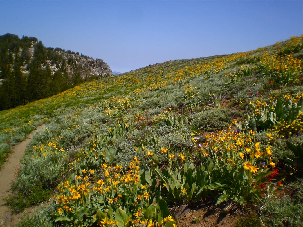 Vast swaths of Mule's Ear blanket the backcountry hillsides of Lake Tahoe along the TRT.
