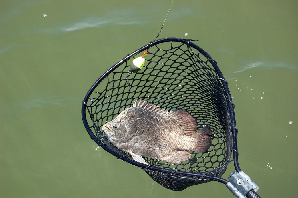 If you must capture a fish, using a ­knotless, coated-mesh landing