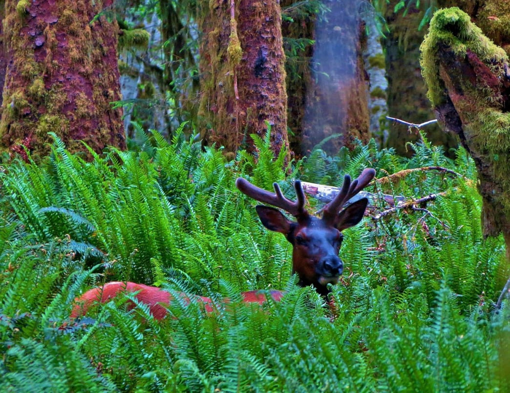 An elk stands at attention in the remote Queets Rainforest