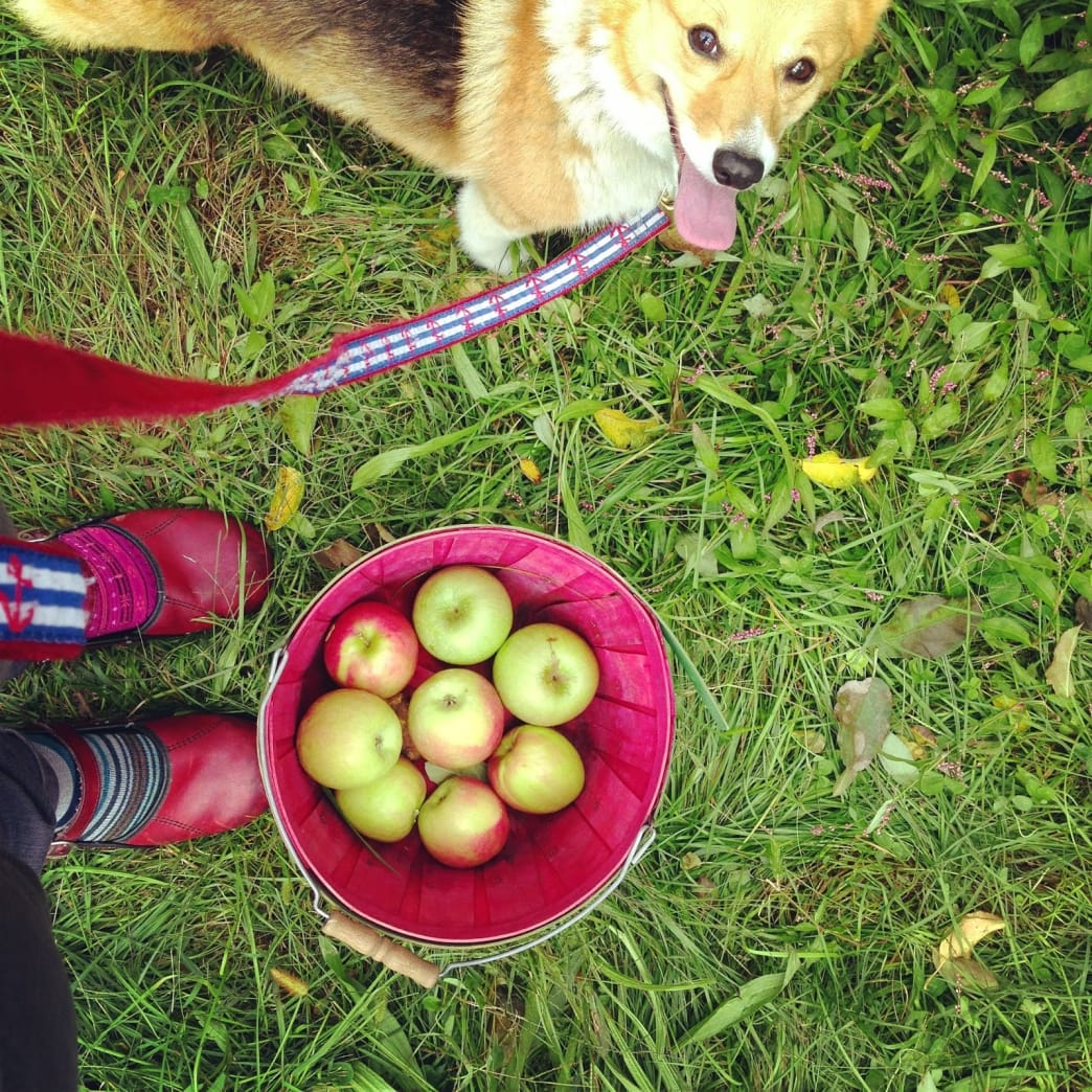 This dog seriously loves apples