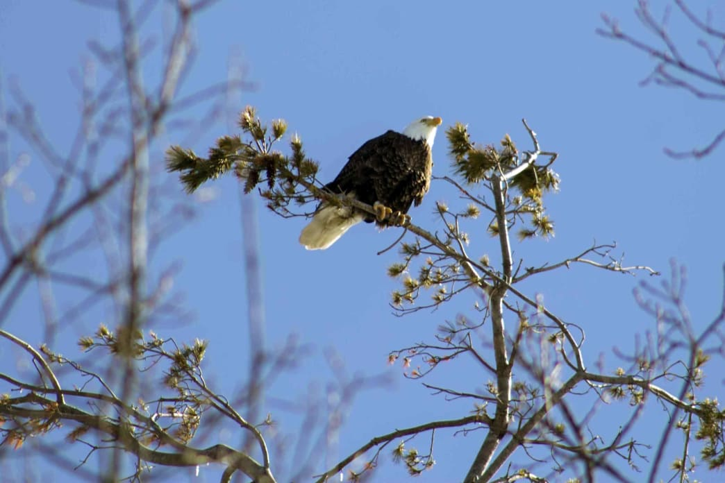 Bald Eagle Populations have grown in the Poconos