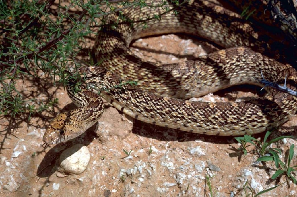 bull snake in the desert